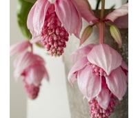 Malaisia orhidee