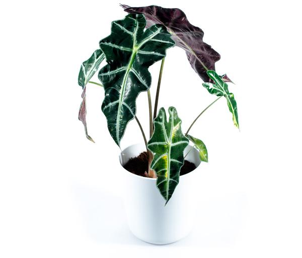 Alokaasia lillepotiga