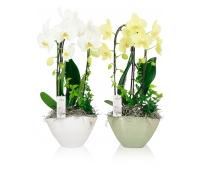 Orhideeseade Josephine