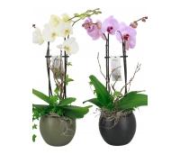 Orhideeseade Lisa