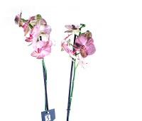 Kahe varrega roosakas-kirju kuuking