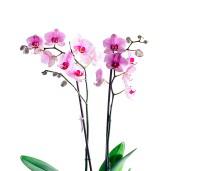 Kahe varrega lillakas-roosa kuuking