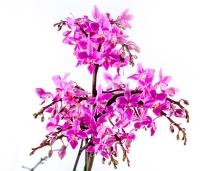 Willd orhidee