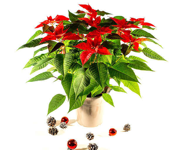 Jõulutäht haruline suur õis Ø17 cm