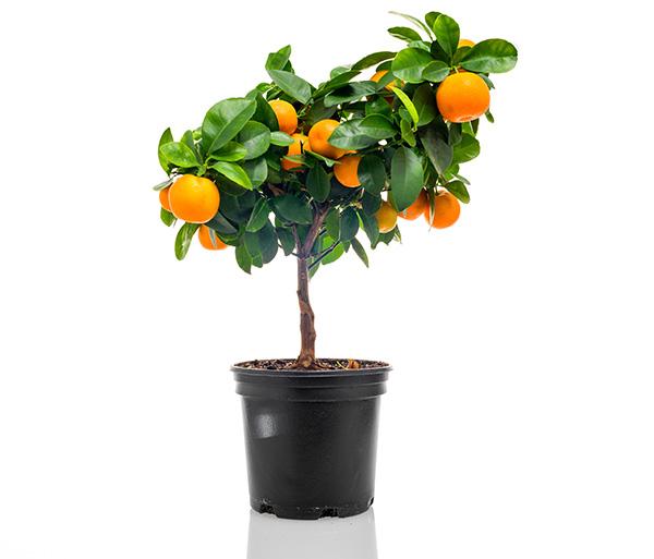 Tsitruspuu